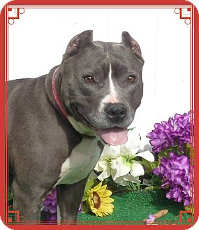 Pit Bull Terrier Mix Dog for adoption in Marietta, Georgia - BROOKE (R)
