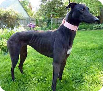 Greyhound Dog for adoption in Spencerville, Maryland - Nena