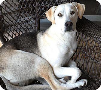 Labrador Retriever/Shepherd (Unknown Type) Mix Dog for adoption in Flower Mound, Texas - Boomer