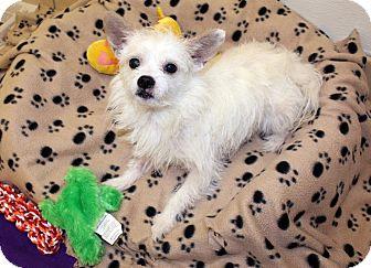 Norfolk Terrier/Skye Terrier Mix Dog for adoption in Lumberton, North Carolina - Max