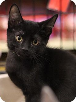 Domestic Shorthair Kitten for adoption in Sacramento, California - Storm