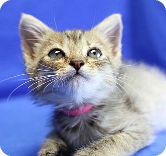 Domestic Shorthair Kitten for adoption in Winston-Salem, North Carolina - Sage