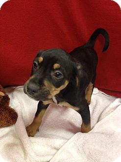 Standard Schnauzer/Chihuahua Mix Puppy for adoption in House Springs, Missouri - Dollar