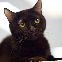 Domestic Shorthair Cat for adoption in Grayslake, Illinois - Wyldstyle