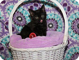 Domestic Shorthair Kitten for adoption in Marietta, Ohio - Samantha