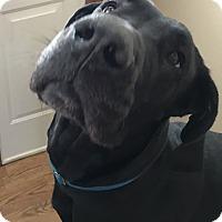 Adopt A Pet :: Sugar - St. Louis, MO