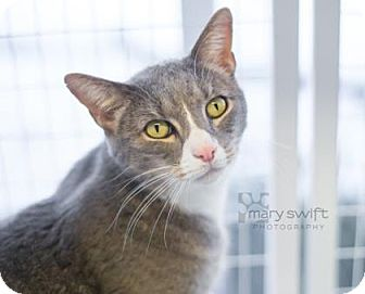 Domestic Shorthair Cat for adoption in Reisterstown, Maryland - Blizzard