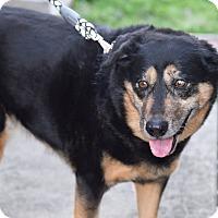 Australian Shepherd/Husky Mix Dog for adoption in Edgewater, New Jersey - Gracie