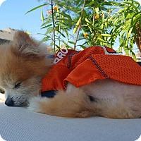 Adopt A Pet :: Rogan - conroe, TX