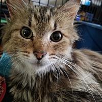 Adopt A Pet :: Fluffy - Greensburg, PA
