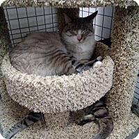 Siamese Kitten for adoption in San Bernardino, California - Lautrec