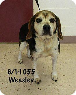 Beagle Dog for adoption in McDonough, Georgia - Weasley