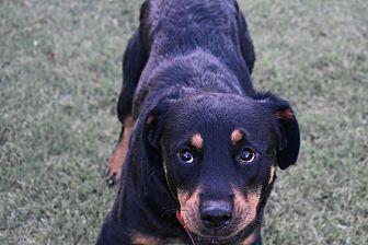 Rottweiler Dog for adoption in Gilbert, Arizona - Savannah