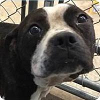 Adopt A Pet :: Bryson - Springdale, AR