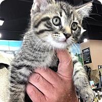 Adopt A Pet :: Martha-Kitten - Devon, PA