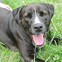 Pit Bull Terrier Mix Dog for adoption in Nashville, Indiana - Sosa