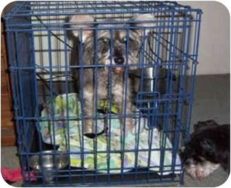 Schnauzer (Standard) Dog for adoption in Cincinnati, Ohio - CC