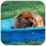 Photo 2 - Golden Retriever/Chow Chow Mix Dog for adoption in Richmond, Virginia - Red