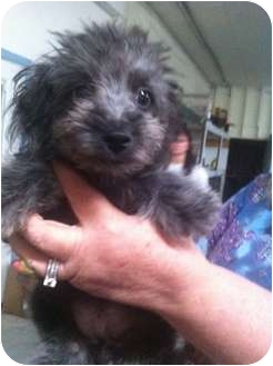 Poodle (Standard)/Maltese Mix Puppy for adoption in Lonedell, Missouri - poke