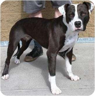 American Staffordshire Terrier Mix Dog for adoption in Gilbert, Arizona - Dina