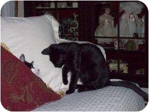 Domestic Shorthair Cat for adoption in Medford, New Jersey - Hocus Pocus
