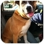 Photo 2 - Shepherd (Unknown Type)/Boxer Mix Dog for adoption in Fowler, California - Sunny
