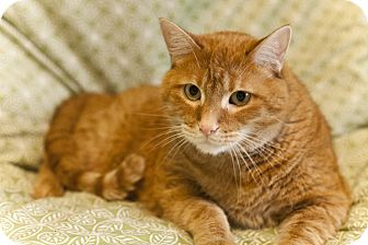 Domestic Shorthair Cat for adoption in St. Louis, Missouri - Waldorf