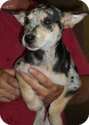 Dachshund/Labrador Retriever Mix Puppy for adoption in Gaffney, South Carolina - Dimples