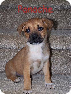 Boxer/Labrador Retriever Mix Puppy for adoption in Milford, New Jersey - Panache