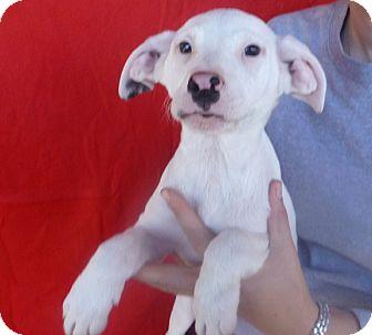 Labrador Retriever Mix Puppy for adoption in Oviedo, Florida - Jerry