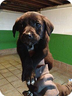 German Shepherd Dog Mix Puppy for adoption in Spring City, Pennsylvania - Echo Litter