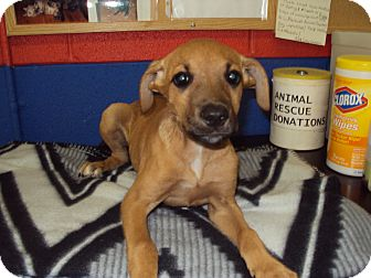 Boxer Mix Puppy for adoption in BLACKWELL, Oklahoma - Nicki
