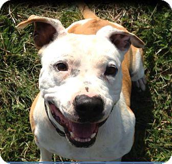 American Bulldog/Pit Bull Terrier Mix Dog for adoption in Clover, South Carolina - RANGER