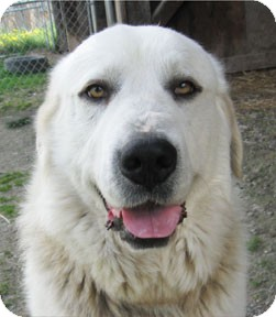 Great Pyrenees Dog for adoption in Bonners Ferry, Idaho - Jasper