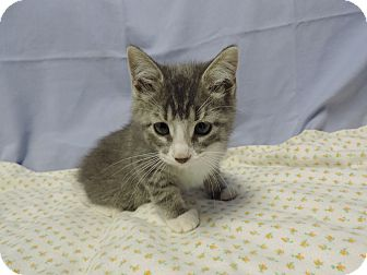Domestic Shorthair Kitten for adoption in Brookings, South Dakota - Diamond
