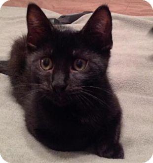 Domestic Shorthair Cat for adoption in Wayne, New Jersey - Raisin
