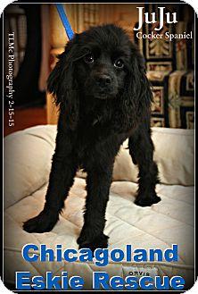 Cocker Spaniel Puppy for adoption in Elmhurst, Illinois - JuJu