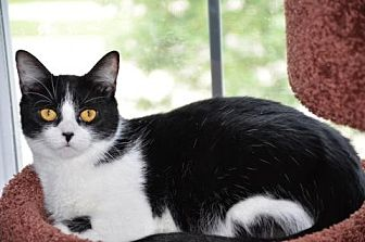 Domestic Shorthair Cat for adoption in Houston, Texas - Mandy