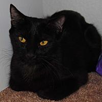 Domestic Shorthair Cat for adoption in Gilbert, Arizona - Boo