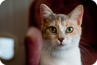 Domestic Shorthair Cat for adoption in Nashville, Tennessee - Lyric