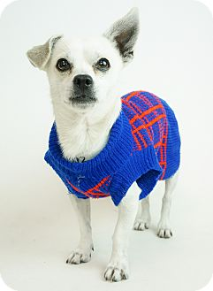 Chihuahua/Terrier (Unknown Type, Small) Mix Dog for adoption in Phoenix, Arizona - Brice