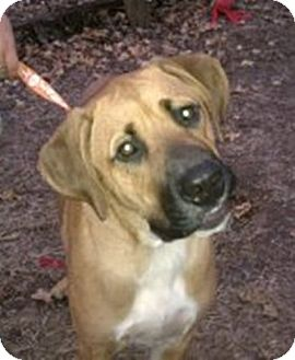 Black Mouth Cur Dog for adoption in Dover, Tennessee - Jake
