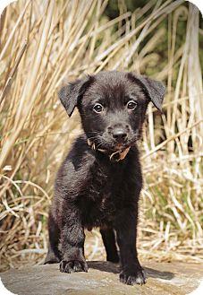 Labrador Retriever Mix Puppy for adoption in Marietta, Georgia - Onyx