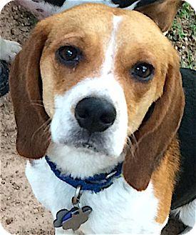 Beagle Dog for adoption in Houston, Texas - JJ