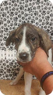 Hound (Unknown Type)/Labrador Retriever Mix Puppy for adoption in Forest Hill, Maryland - Charmander
