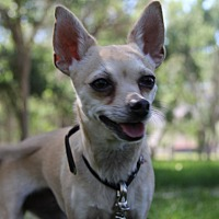 Chihuahua Dog for adoption in Salina, Utah - Goldie