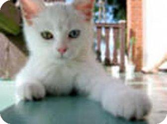Domestic Shorthair Cat for adoption in Walnut Creek, California - Popcorn
