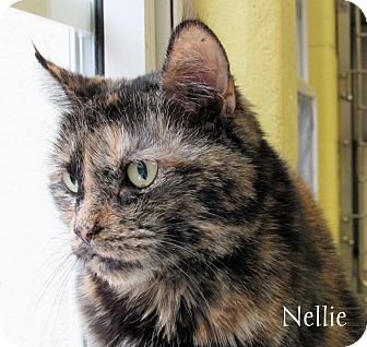 Domestic Shorthair Cat for adoption in Jackson, New Jersey - Nellie