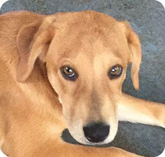 Labrador Retriever/Golden Retriever Mix Puppy for adoption in Hagerstown, Maryland - Harper