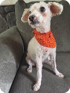 Poodle (Miniature)/Bichon Frise Mix Dog for adoption in Philadelphia, Pennsylvania - AJ!